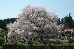 sakura.jpg, SIZE:640x428(91.2KB)