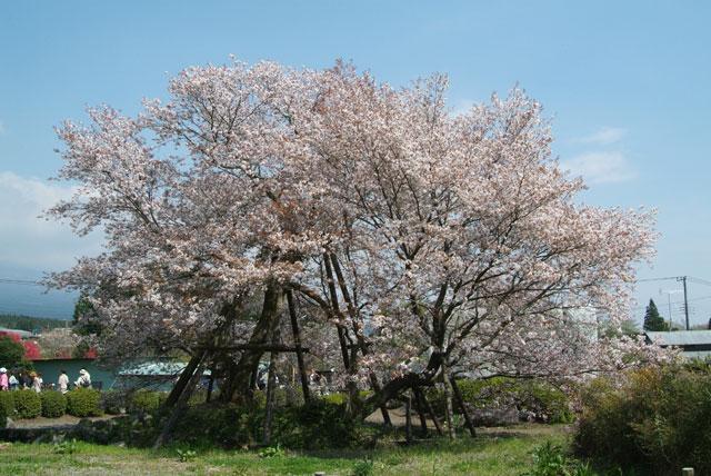 井出館側から見た下馬桜