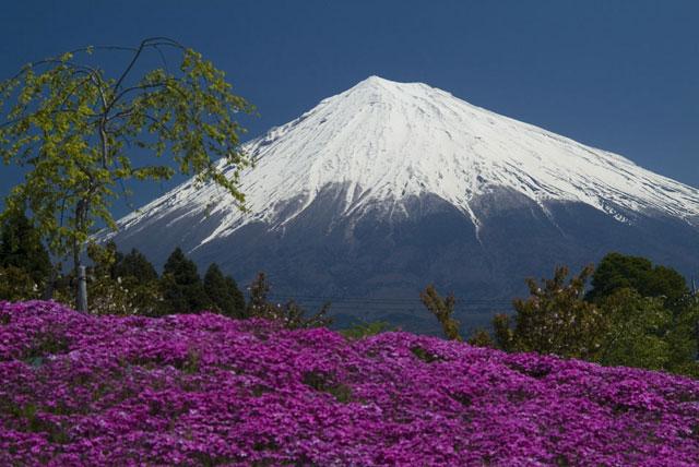 築山のシバザクラと富士山