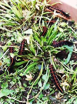 ツマグロヒョウモン幼虫の群れ