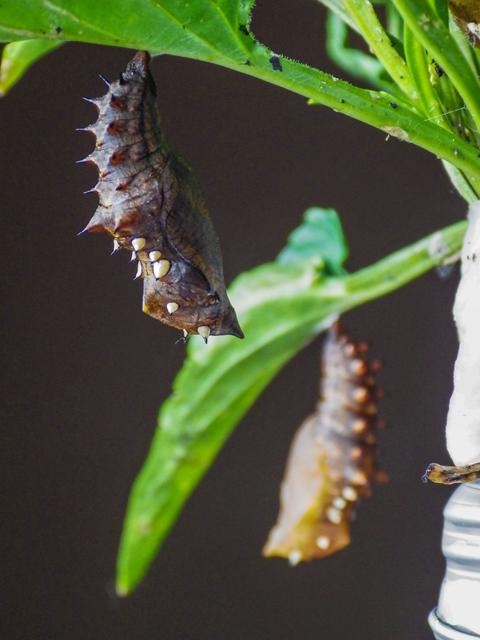 ツマグロヒョウモン蛹