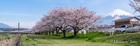 潤井川富士フイルム対岸4月6日